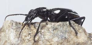 Ground Beetle, large compact eyes, large strong mandibles for chopping up food, long antennae