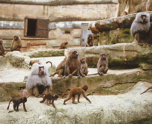 A group of baboons