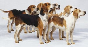 Group of English Foxhounds (Canis familiaris) standing facing the same direction