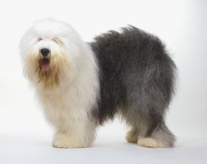 Half white, half grey Old English Sheepdog (Canis familiaris), standing, side view.