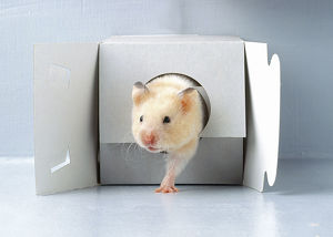 Hamster emerging from cardboard box, front view