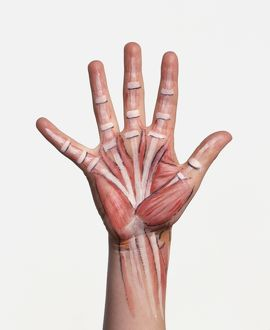 Hand with bone structure and muscle groups painted on skin