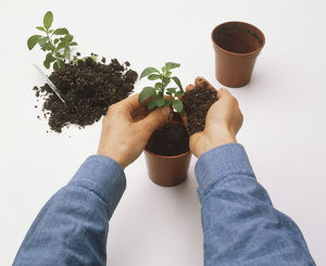 Hand holding seedling upright in pot, other hand adding soil, next to second seedling