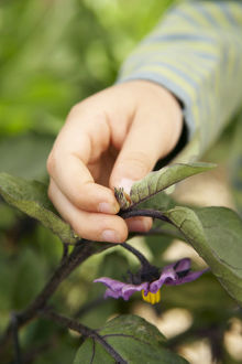 Hand pinching out growing tip of aubergine plant