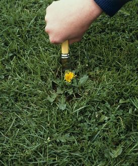 Hand removing a dandelion weed from grass lawn, close-up
