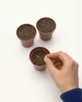 Hand sowing seeds in pot of compost, two pots adjacent