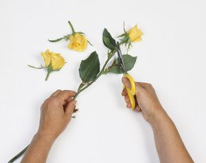 Hands cutting off yellow rose flower head of stem using scissors, two cut flower heads nearby