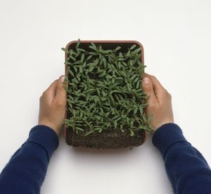Hands holding tray of Tagetes seedlings