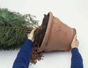 Hands removing conifer from terracotta pot, close-up