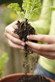 Hands repotting seedling