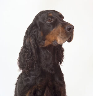 A handsome Gordon setter with a black coat, a tan muzzle, and wavy-haired ears. Head