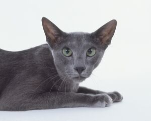 Head of Blue Oriental Shorthair cat, looking at camera, close-up