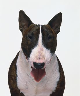 Head of Bull Terrier Dog (Canis familiaris) with its tongue sticking out, looking at camera