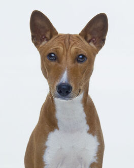 Head and chest of Basenji dog, front view