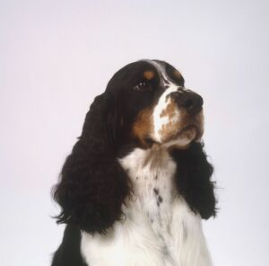 Head of English Springer Spaniel, close-up