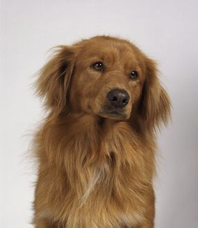 Head of a Nova Scotia Duck Tolling Retriever, front view, looking away