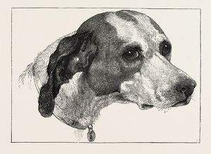 HEAD OF POINTER (DOG), BY EDWIN LANDSEER, 1802-1873, PAINTER, 1873 engraving