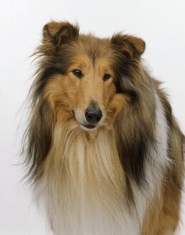 Head of a Rough Collie dog, close-up