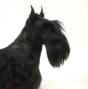 Head of Scottish Terrier, side view