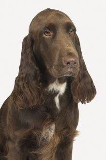 Head and shoulders of liver and white Field Spaniel