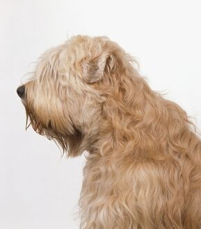 <b>Soft-Coated Wheaten Terrier</b><br>Selection of 23 items