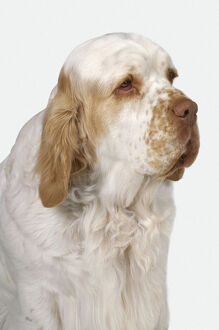 Head and shoulders of white and lemon Clumber Spaniel dog