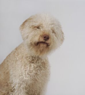 Head and shoulders of yellow Lagotto Romagnolo dog