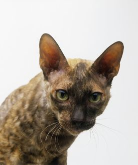Head of a Tortoiseshell Cornish Rex cat, looking at camera