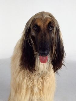 Headshot of an Afghan Hound, panting