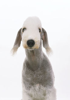 Front headshot of a Bedlington Terrier