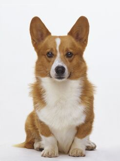 Front headshot of a Pembroke Welsh Corgi Dog