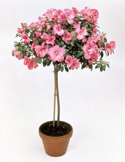 Hibiscus with pink flowers trained as standard tree in terracotta plant pot