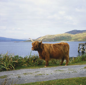 Highland Cow tethered next to road with sea and islands in background.