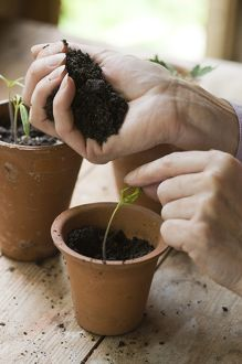 Holding compost in hand above tomato seedling in plant pot
