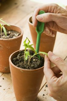 Holding leaf and using dibber to ease seedling roots from pot of compost