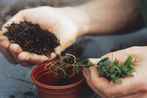 Holding a seedling in one hand and handful of soil in other hand over a a plant pot