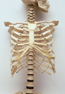 Human rib cage, jaw bones, neck vertabrae leading to sternum, collar bones and ribcage