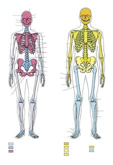 Illustration showing comparison and morphological differences of male and female skeleton