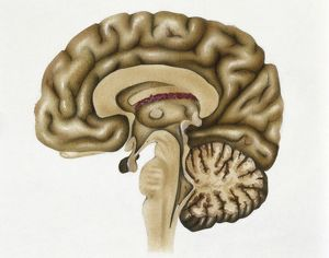 Illustration showing cross section of human brain