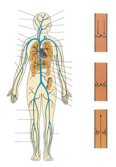 Illustration showing human circulatory system