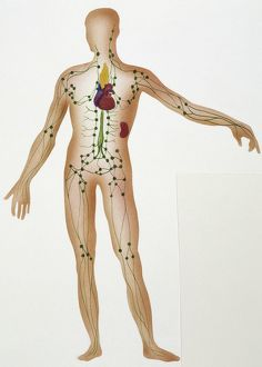 Illustration showing human lymphatic system