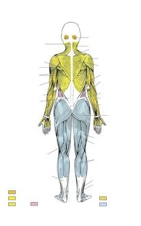 Illustration showing human muscular system, rear view