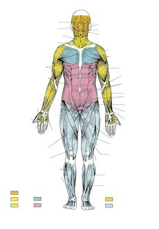 Illustration showing human muscular system, front view