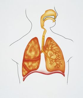Illustration showing human respiratory system