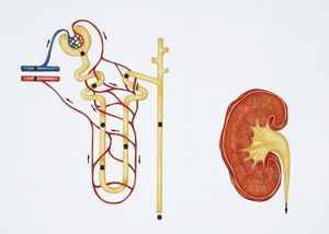 Illustration showing nephron structure and kidney