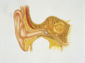 Illustration showing structure of human ear
