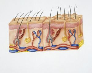 Illustration showing structure skin with hairs, sebaceous glands, nerve endings