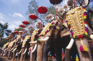 India, Kerala, row of elephants decorated with golden headdress and umbrella for