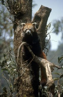 India, West Bengal, Red panda (Ailurus fulgens) on a tree