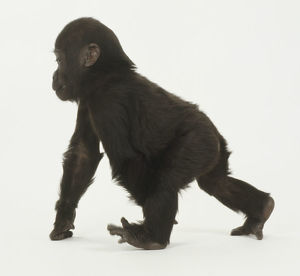 Infant Gorilla on all fours, walking forward, toes splayed, knuckles on floor, looking forward